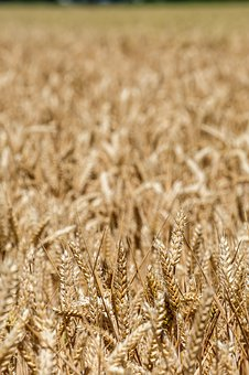 Wheat, Agriculture, Grains, Field, Grain, Harvest