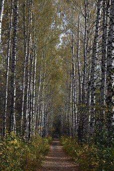 Birch, Alley, Autumn, Novosibirsk, The Arboretum, Tree