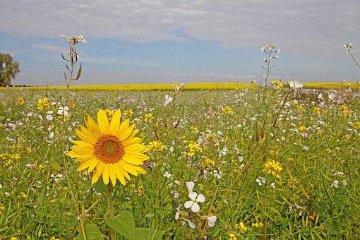 Sunflower, Autumn, Nature, Field, Flower, Field Flowers