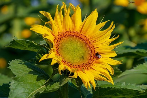 Sunflower, Yellow, Blossom, Bloom, Nature, Bright