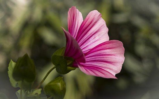 Mallow, Garden Flora, Nature, Blossom, Bloom, Pink
