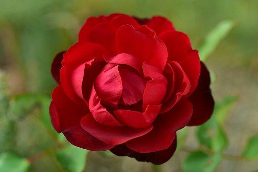 Rose, Red, Blossom, Bloom, Petals, Open, Flower