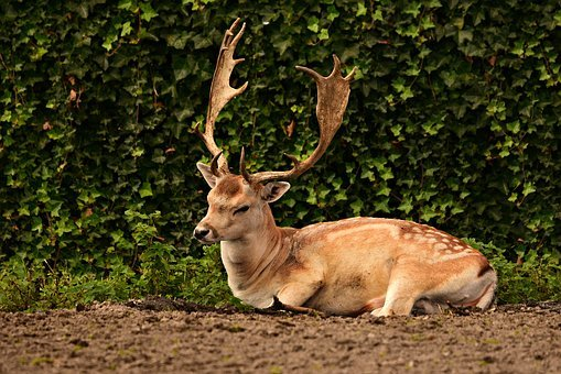 Fallow Deer, Stag, Antler, Captivity, Lying Down