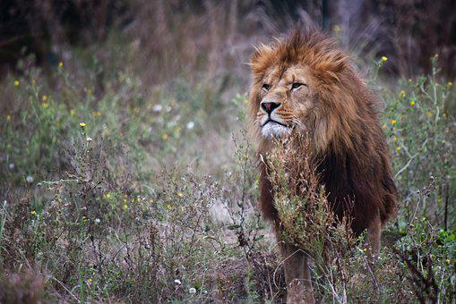 Lion, Tawny, Majestic, Carnivores, Mane, Africa