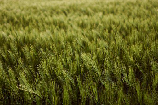 Wheat Field, Wheat, Cereals, Field, Cultivation