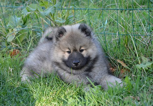 Dog, Dog Olaf Blue, Dog Eurasier, Domestic Animal