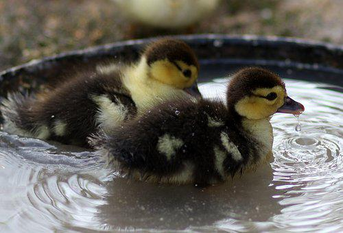 Duckling, Two, Water, Birds, Backyard, Farm