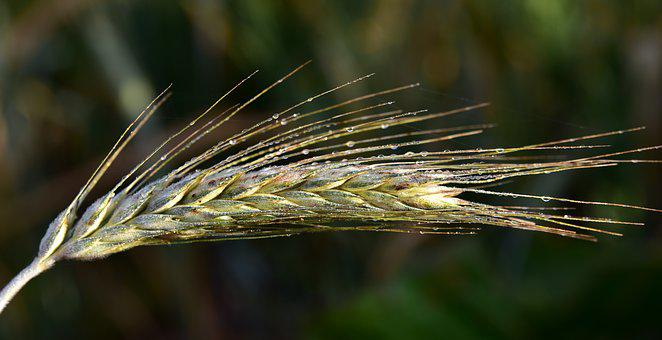 Ear, Ear Of Corn, Cereals, Agriculture, Food, Corn Ear