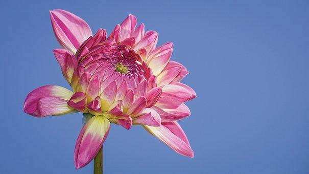 Dahlia, Blossom, Bloom, Flower, Plant, Flora
