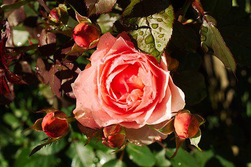 Rosa, Roses, Flower, Flowers, Floral, Flora, Beauty