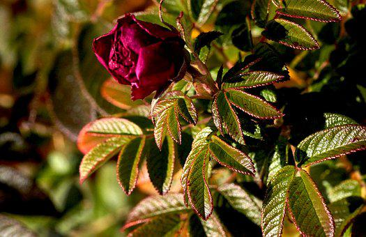 Rose, Flower, Flowering, Red Rose, Flora, Bush
