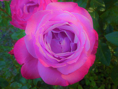 Rose, Pink, Flower, Nature, Flowers, Romantic, Garden
