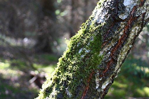 Moss, Tree, Birch, Nature, Forest, Green, Log