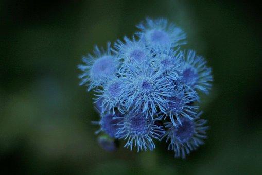 Flowers, Garden, Ageratum Houstonianum