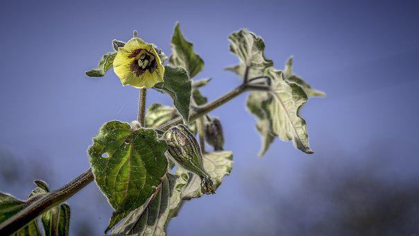 Physalis, Hairy, Flowers, Fruits, Nature, Garden