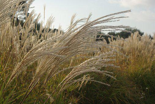 Marsh, Grass, Stems, Rushes, Camargue, Wet, Plant