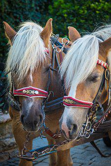 Horse, Monteaura, Horses, Draft Horse, Horse Head