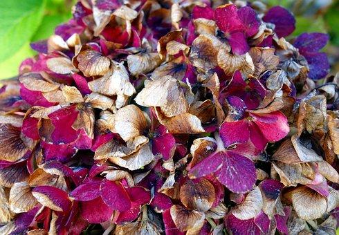 Hydrangea, Faded, Flower, Plant, Garden, Close Up