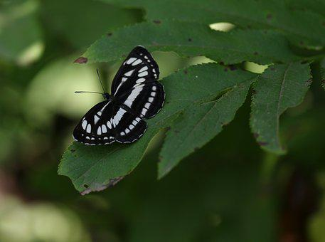 Butterfly, White, Black, Insect, Leaf