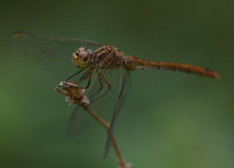 Dragonfly, Insecta, Wings, Nature, Rest