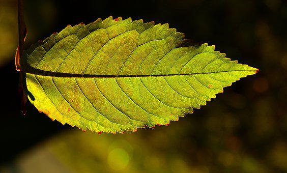 Beech Leaf, Backlighting, Autumn, Leaves, Close Up