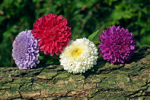 Flowers, Astra, Colorful, Log, The Bark, Decoration