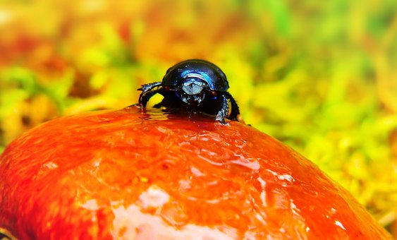 Forest Beetle, Insect, Mushroom, Maslak, Rain, Water