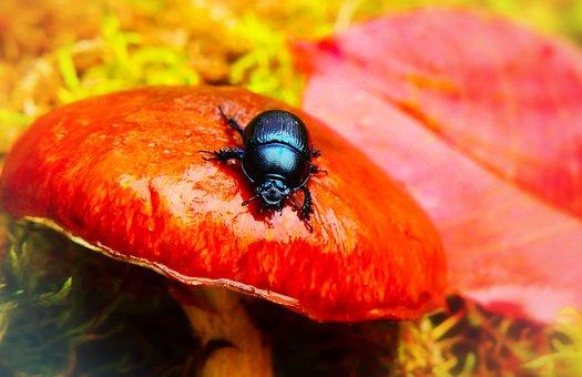Forest Beetle, The Beetles, Mushroom, Maslak, Autumn
