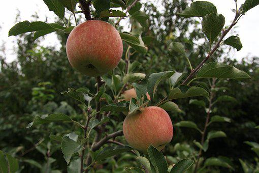 Apple, Apple Tree, Ripe, Fruit, Autumn, Nature, Fresh