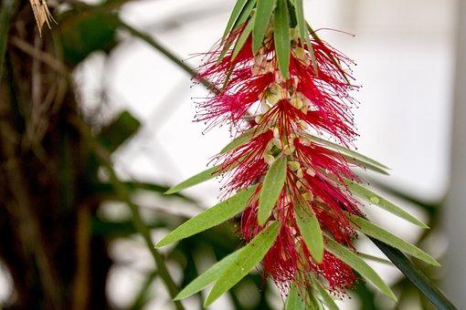 Caliandra, Caliandra Red, Flower, Spring, Nature