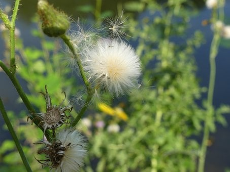 Dandelion, Faded, Plant, Nature, Close Up, Seeds