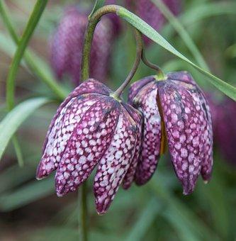 Chess Flower, Purple, Flower, Summer, Nature, Blossom