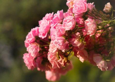 Rose Flower, Romantic, Pink, Greeting Card, Fragrance