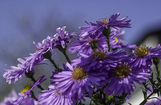 Asters, Flowers, Shrub, Blossom, Bloom, Nature, Plant