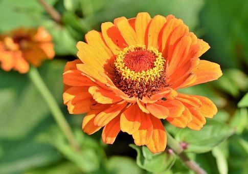 Zinnia, Composites, Blossom, Bloom, Flower, Plant