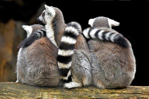 Lemuriens, Primates, Madagascar, Mammals, Nature