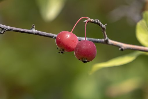 Autumn, Fruit, Nature, Plants, Wood, The Leaves, Red