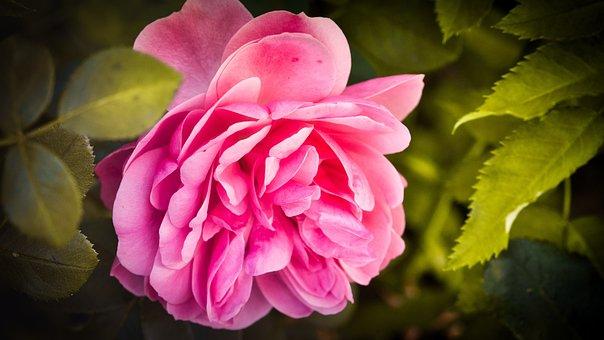 Rose, Romantic, Pink, Blossom, Bloom, Love, Romance