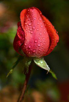 Rose, Bud, Rosebud, Pink, Red, Flower, Tender, Closed