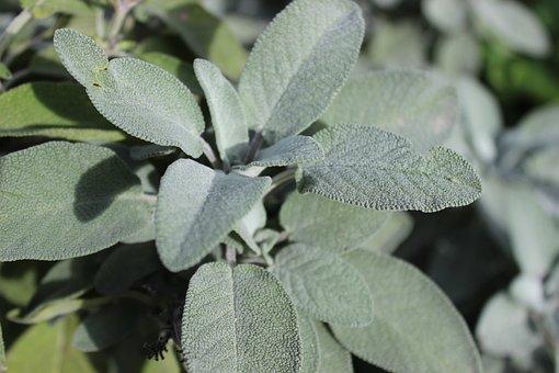 Sage, Medicinal Plant, Spice Tea, Healthy, Taste