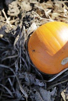 Pumpkin, Spider, Farm