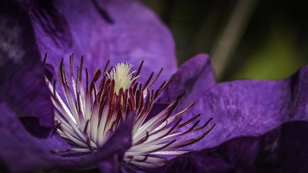 Clematis, Blossom, Bloom, Stamp, Purple, Climber Plant