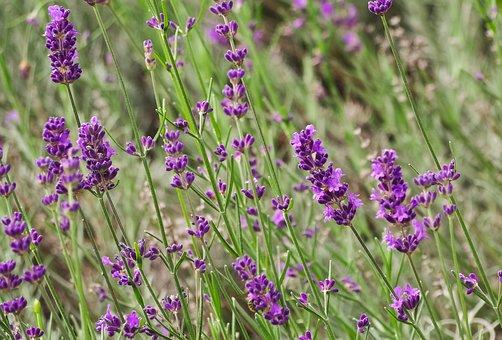 Plant, Lavender, Flowers, Nature, Purple, Summer