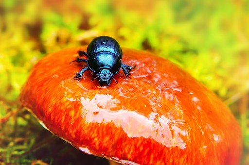 Forest Beetle, The Beetle, Insect, Mushroom, Maslak