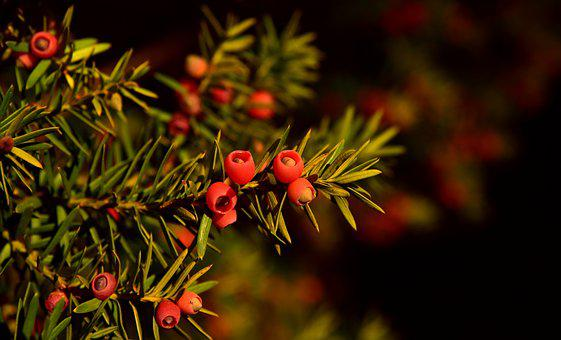 Yew, Berry, Red, Evergreen, Toxic, Nature, Fruits