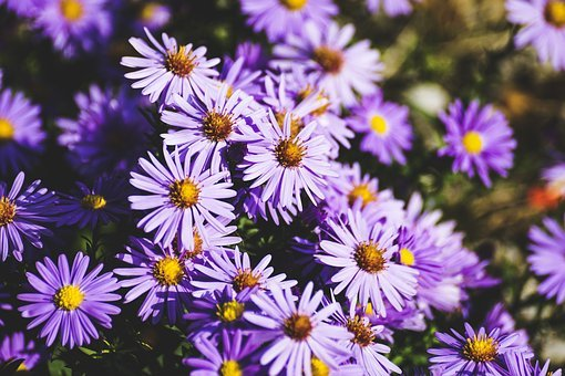 Asters, Herbstastern, Autumn, Violet, Purple, Flowers
