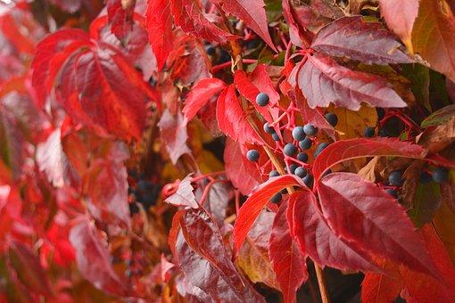 Parthenocissus Quinquefolia, Autumn, Red, Leaves, Wall