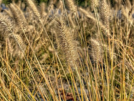 Grain, Cereals, Wheat, Plant, Field, Harvest