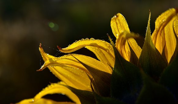 Sunflower, Close Up, Backlighting, Macro, Yellow