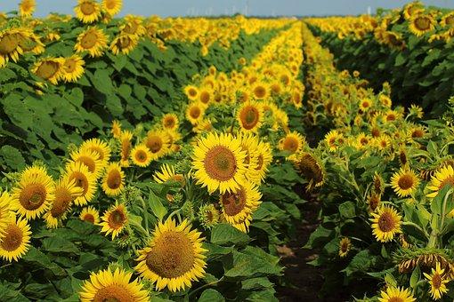 Sunflowers, Fields, Flower, Yellow, Nature, Summer